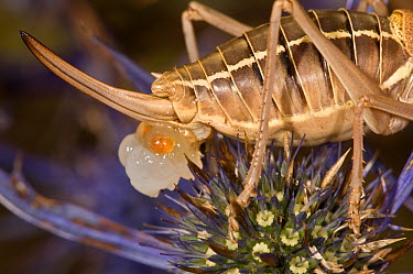 Grasshopper (Ephippiger ephippiger) close up of rear, egg laying on Thistle flower Italy, Europe  -  Paul Harcourt Davies/ npl
