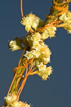 Field Dodder (Cuscuta campestris) close up of the parasitic twining mass of stems on Triflium (Clover) species Italy, Europe  -  Paul Harcourt Davies/ npl