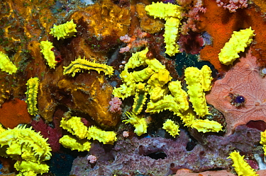Yellow sea cucumber (Colochirus robustus) on sponge Komdo National Park, Indonesia  -  Georgette Douwma/ npl