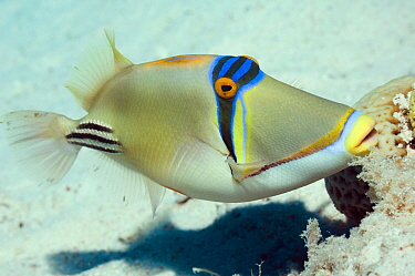 Arabian picasso fish (Rhinecanthus assasi) fanning and guarding egg mass in nest Red Sea  -  Georgette Douwma/ npl