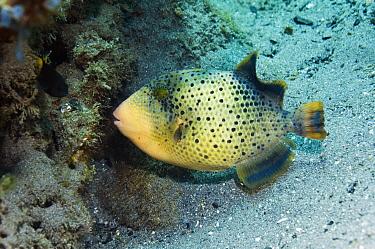 Yellowmargin triggerfish (Balistoides flavimarginatus) juvenile Rinca, Komodo National Park, Indonesia  -  Georgette Douwma/ npl