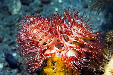 Magnificent tube worm (Protula magnifica) Rinca, Komodo National Park, Indonesia  -  Georgette Douwma/ npl