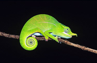 Petter's chameleon (Furcifer petteri) on branch, Ankarana Reserve, Northern Madagascar  -  Nick Garbutt/ npl