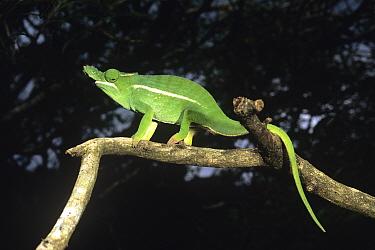 Petter's chameleon (Furcifer petteri) walking along branch, Joffre Ville, Northern Madagascar  -  Pete Oxford/ npl