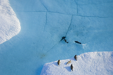 Aerial view of Ringed seals (Phoca hispida) on multi-layer ice (freshwater pans formed over many years where salt is squeezed out of the ice) with exit hole underneath ocean, Chuckchi Sea, 20 miles of...  -  Steven Kazlowski/ npl