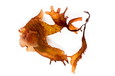 Sea Hare (Aplysia punctata) camouflaged on seaweed, on a white background Pembrokeshire, Wales, UK July  -  Alex Hyde/ npl