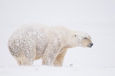 Polar bear (Ursus maritimus) old boar covered in snow, feeding on Bowhead whale (Balaena mysticetus) skin and blubber, muktuk, along the arctic coast, 1002 area of the Arctic National Wildlife Refuge,...  -  Steven Kazlowski/ npl