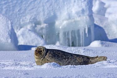 Ringed seal (Phoca hispida) portrait of pup lying on ice, Chuckchi Sea, off shore from Point Barrow, Arctic Alaska  -  Steven Kazlowski/ npl