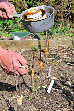 Fruit Propagation 'whip and tongue grafting' gardener grafting Apple (Malus sylvestris) onto M26 grafting stock, applying hot grafting wax to rootstock and attached scion, Sequence 6, 7, UK, April  -  Gary K. Smith/ npl