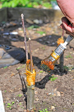 Fruit Propagation 'whip and tongue grafting' gardener grafting Apple (Malus sylvestris) onto M26 grafting stock, applying hot grafting wax to rootstock and attached scion, Sequence 7, 7, UK, April  -  Gary K. Smith/ npl