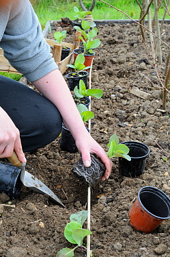 Female gardener planting out pot grown summer Cabbage plants (Brassica oleracea capitata) variety 'Hispi', in small raised bed, England, UK, May  -  Gary K. Smith/ npl