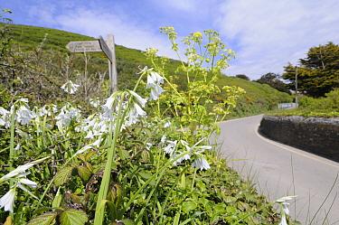 Three Cornered Leek, Garlic (Allium triquetrum) flowering, naturalised by roadside, Cornwall, England, UK, May  -  Gary K. Smith/ npl
