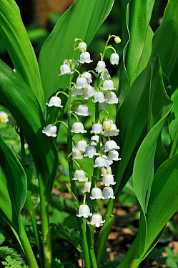 Lily of the Valley (Convallaria majalis) in flower, Belgium  -  Philippe Clement/ npl