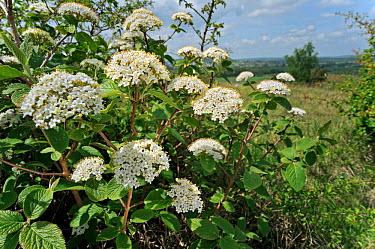 Wayfaring tree (Viburnum lantana) in flower, in hedgerow, Belgium  -  Philippe Clement/ npl