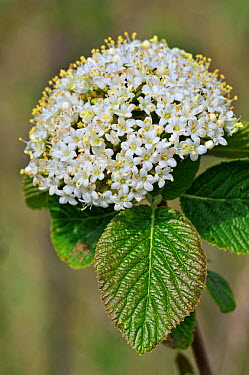 Wayfaring tree (Viburnum lantana) close up in flower, Belgium  -  Philippe Clement/ npl