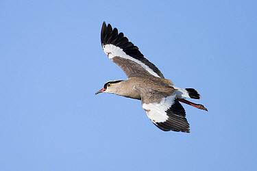 Crowned Plover (Vanellus coronatus) in flight  -  Guy Edwardes/ npl