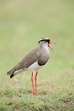 Crowned Plover (Vanellus coronatus) calling,  -  Guy Edwardes/ npl
