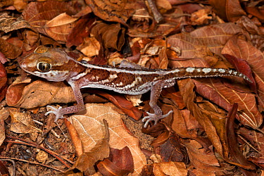 Big eyed, headed gecko (Paroedura pictus) on forest floor Dry deciduous forest, Kirindy Forest, Western Madagascar October  -  Alex Hyde/ npl