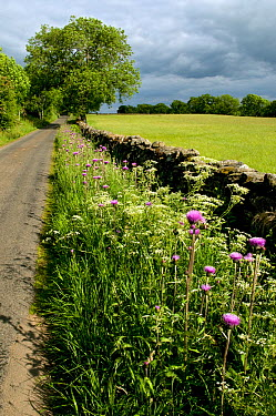 Melancholy thistles (Cirsium helenoides) growing on roadside verge, Upper Teesdale, Co Durham, England, UK, June 2009  -  Andy Sands/ npl