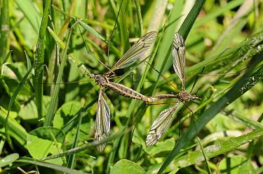 Pair of Craneflies (Tipula lateralis) mating Wiltshire, UK, April  -  Nick Upton/ npl