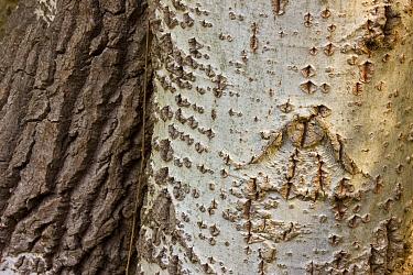 Close up of bark of White poplar tree (Populus alba) Donana NP, Huelva, Andalucia, Spain  -  Juan Carlos Munoz/ npl