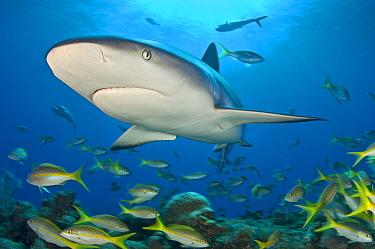 Caribbean reef shark (Carcharhinus perezi) bursts through the middle of a school of Yellowtail snappers (Ocyurus chrysurus) Grand Bahama, Bahamas Tropical West Atlantic Ocean  -  Alex Mustard/ npl