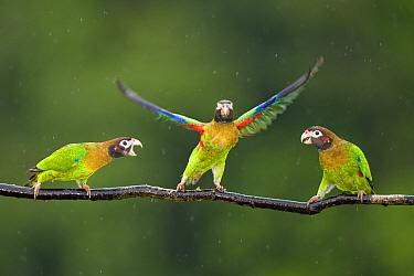 Three Brown-hooded Parrots (Pionopsitta haematotis) one taking off from branch, in the rain Laguna del Lagarto, Santa Rita, Costa Rica  -  Bence Mate/ npl
