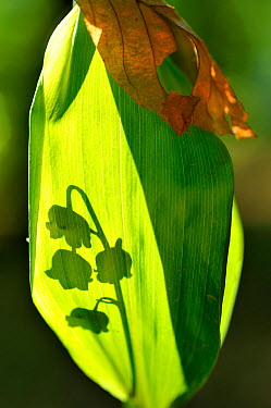 Lily of the Valley (Convallaria majalis) shadow of flowers falling on leaf, Lorraine, France, May  -  Michel Poinsignon/ npl