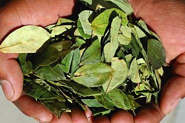 Coca leaves (Erythroxylum coca var coca) held in the hand, main commercial source of cocaine, South America  -  Daniel Heuclin/ npl