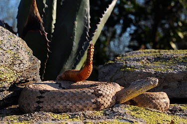 Rock rattlesnake (Crotalus lepidus klauberi) with tail rattle raised in defensive, aggressive posture  -  Daniel Heuclin/ npl