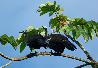 Two Trinidad, Blue throated piping guans (Aburria pipile) perched in tree, Trinidad, Critically endangered species  -  Kevin Schafer/ npl