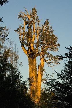 Alerce tree, Patagonian cypress (Fitzroya cupressoides) Alerce Andino NP, Chile, Endangered, March 2008  -  Kevin Schafer/ npl