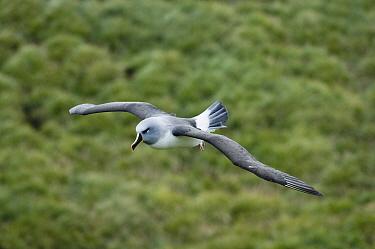 Grey-headed albatrosses (Thalassarche, Diomedea chrysostoma) in flight, South Georgia Island, Endangered species, December  -  Kevin Schafer/ npl