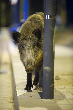 Wild boar (Sus scrofa) standing by a lamppost at night in Barcelona, Spain  -  Laurent Geslin/ npl