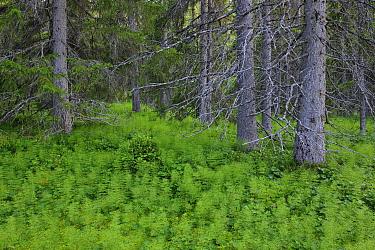 Boreal orest landscape with horsetail, Sweden, Scandinavia, Summer  -  Sven Zacek/ npl