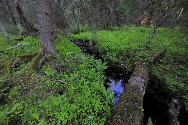 Boreal forest landscape with horsetail, Estonia, Spring  -  Sven Zacek/ npl