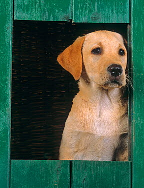 Yellow labrador, puppy looking out from kennel  -  Ernie Janes/ npl