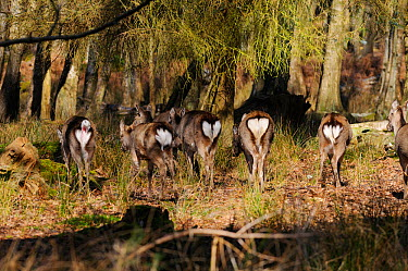 Small herd of Japanese sika deer (Cervus nippon) showing white rumps, Dorset, England  -  Dave Watts/ npl