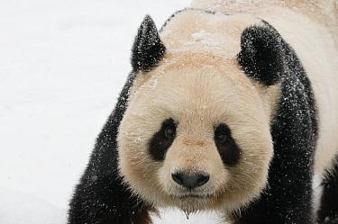 Head portrait of Giant panda (Ailuropoda melanoleuca) covered in snow captive (born in 2000) Occurs China  -  Edwin Giesbers/ npl