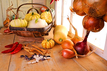 Rustic potting shed bench with Onions (Allium cepa) and Squashes, Norfolk, UK, September  -  Gary K. Smith/ npl