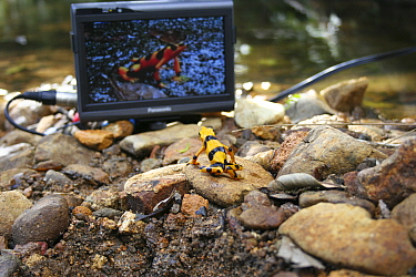 Panamanian golden frog (Atelopus ziteki) reacting to the image of a frog on a video monitor Experiment carried out to reveal the purpose of the frog's waving behaviour ? to attract mates and deter riv...  -  Miles Barton/ npl