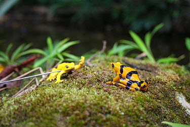 Panamanian Golden Frog (Atelopus ziteki) reacting to the model of a waving frog Experiment carried out to reveal the purpose of the frog's waving behaviour ? to attract mates and deter rivals Featured...  -  Miles Barton/ npl