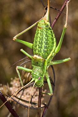 Bush cricket (Ephippiger ephippiger) Italy  -  Paul Harcourt Davies/ npl