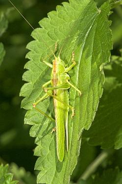 Great green bush-cricket, female (Tettigonia viridissima) camouflaged on leaf, Italy  -  Paul Harcourt Davies/ npl