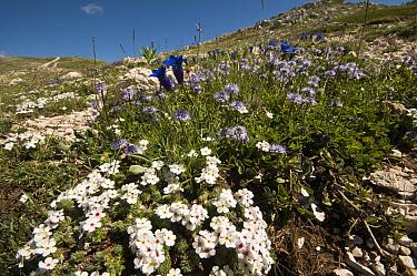 Alpine flowers in the Simbruini Mts NP, Apennines, Italy (Androsace villosa) white, (Gentiana dinarica) blue, and (Globularia alpina) purple  -  Paul Harcourt Davies/ npl