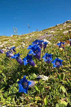 Trumpet gentian (Gentiana dinarica) flowering on limestone scree in the Simbruini Mountains NP, Apennines, Italy  -  Paul Harcourt Davies/ npl