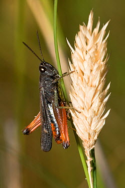 Woodland grasshopper (Omocestus rufipes) on grass seed head, Italy  -  Paul Harcourt Davies/ npl