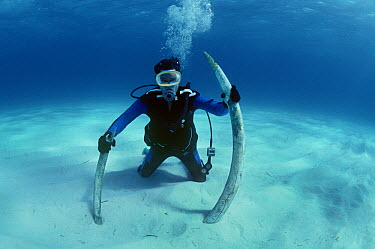 Diver with Elephant tusks recovered from the shipwreck Las Maravillas, a Spanish galleon sunk in 1658, Bahamas 1987  -  Jeff Rotman/ npl