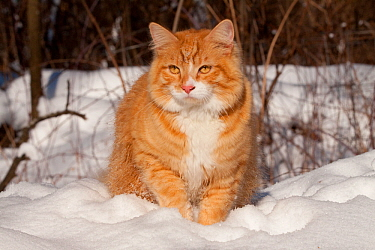 Portrait of young male yellow tabby cat in snow, Illinois, USA  -  Lynn M. Stone/ npl