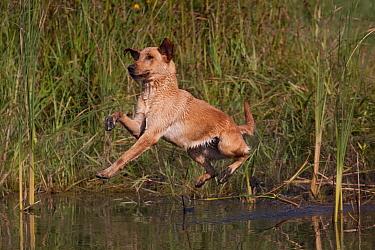 Yellow Labrador Retriever jumping into pond on a retrieve Illinois, USA  -  Lynn M. Stone/ npl